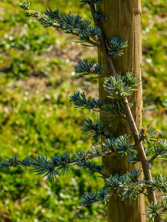 雪松树苗在森林里 免版税库存照片