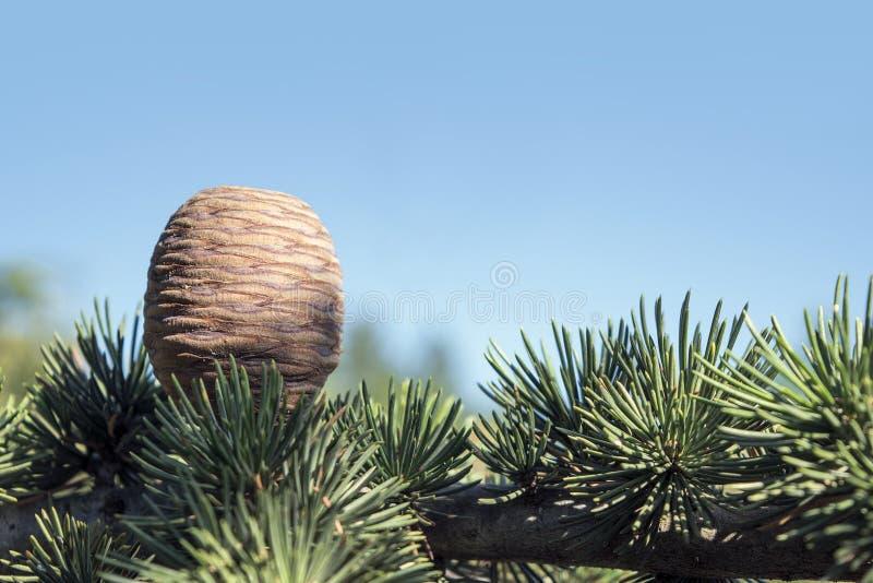 雪松的锥体和分支反对蓝天的 图库摄影
