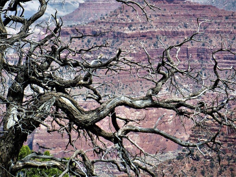 雪松,大峡谷分支  免版税图库摄影