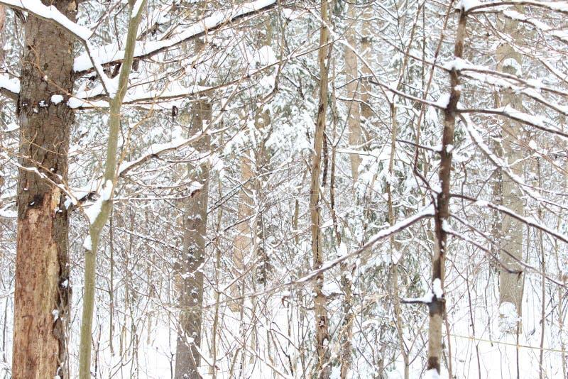 雪森林在冬天 免版税库存照片