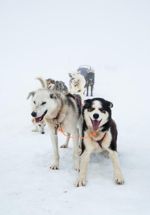 雪橇狗 免版税库存照片
