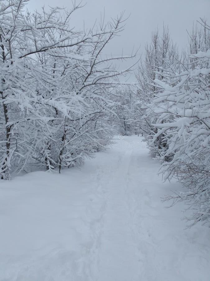雪灌木 免版税库存照片