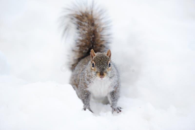 雪灰鼠冬天 库存照片