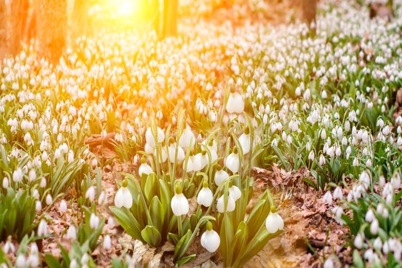 雪熔化随着热的到来在那里森林里首先是snowdrops在小河附近生长的精美花报春花, 图库摄影