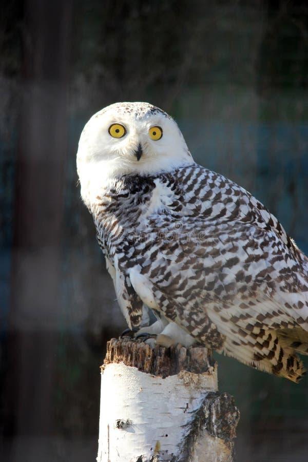 雪猫头鹰的画象 库存照片