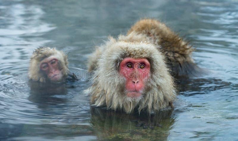 雪猴子家庭在自然温泉城中水  日本短尾猿科学名字:猕猴属fuscata,亦称 库存照片