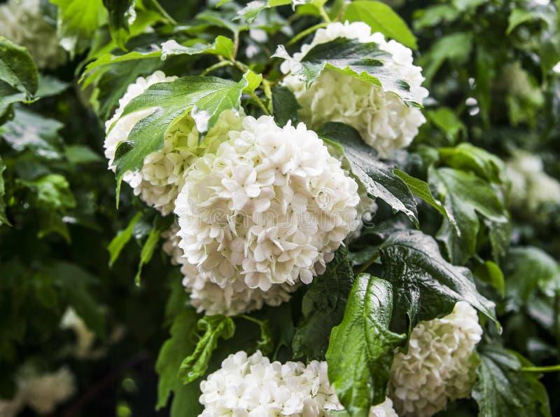 雪球开花(荚莲属的植物opulus)与叶子 库存图片