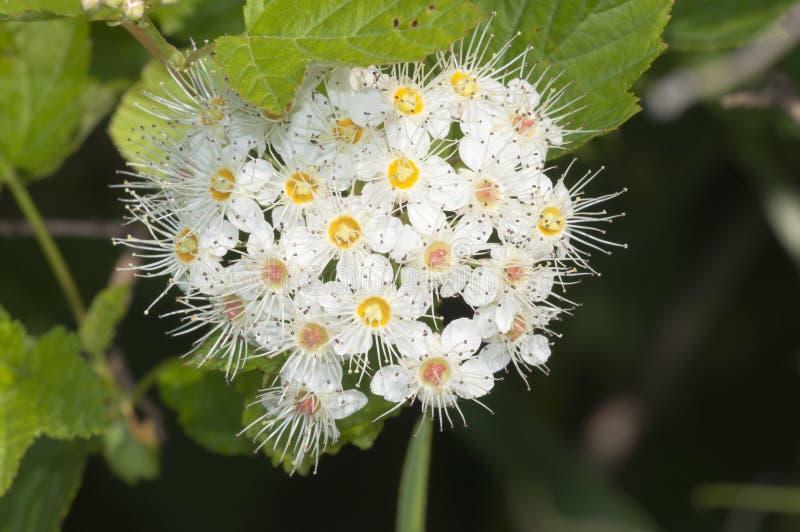 雪球荚莲属的植物 库存照片