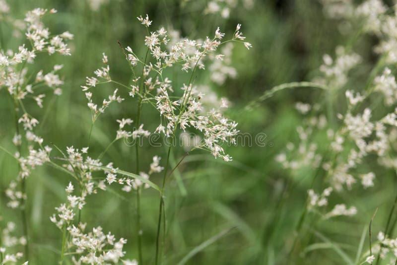 雪白木头仓促植物,Luzula nivea花  库存照片