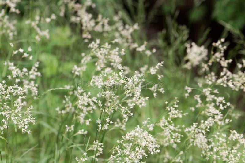 雪白木头仓促植物,Luzula nivea花  免版税库存照片