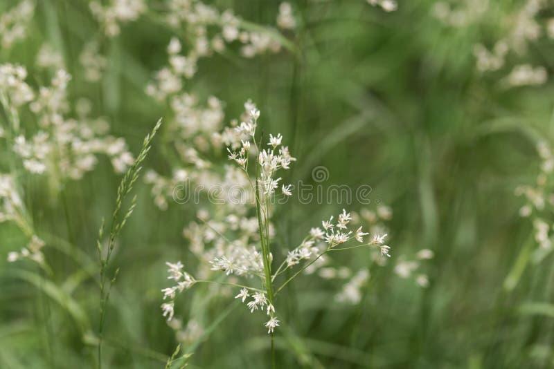 雪白木头仓促植物,Luzula nivea花  图库摄影