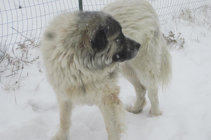 雪的大比利牛斯 库存照片