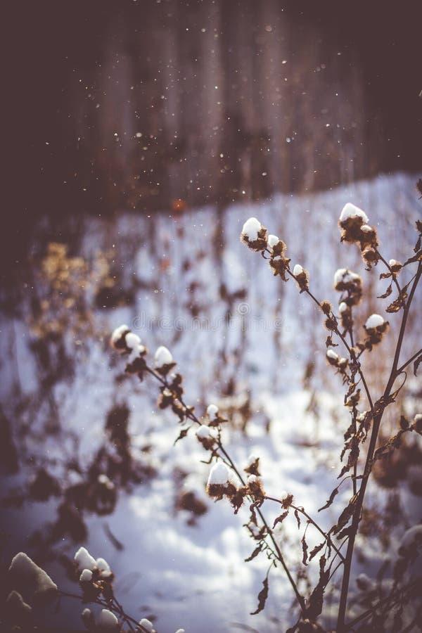 雪的自然植物 库存图片