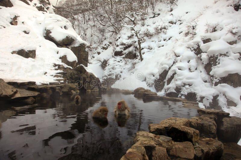雪胡闹,沐浴在温泉,长野,日本的短尾猿 免版税库存照片