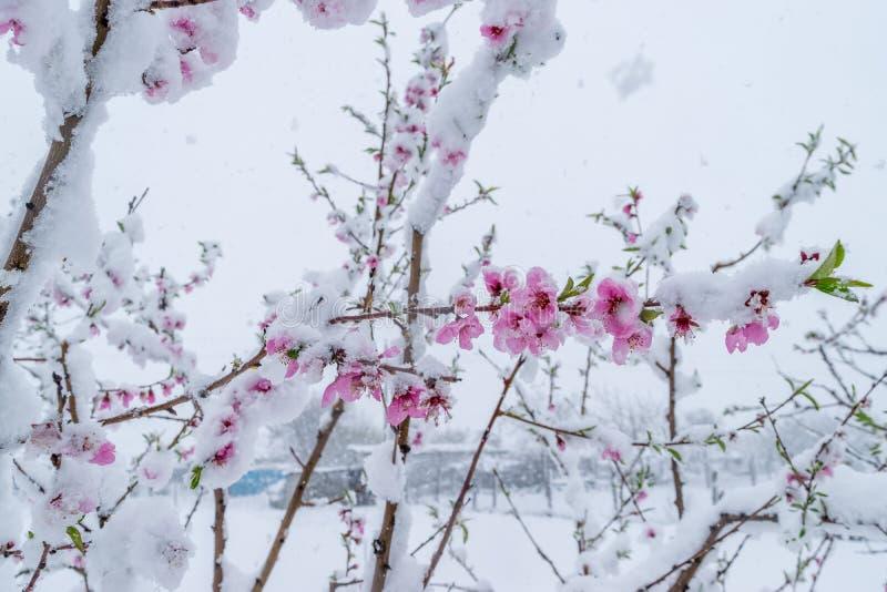 雪自然灾害在树和收获的绽放的期间 库存图片