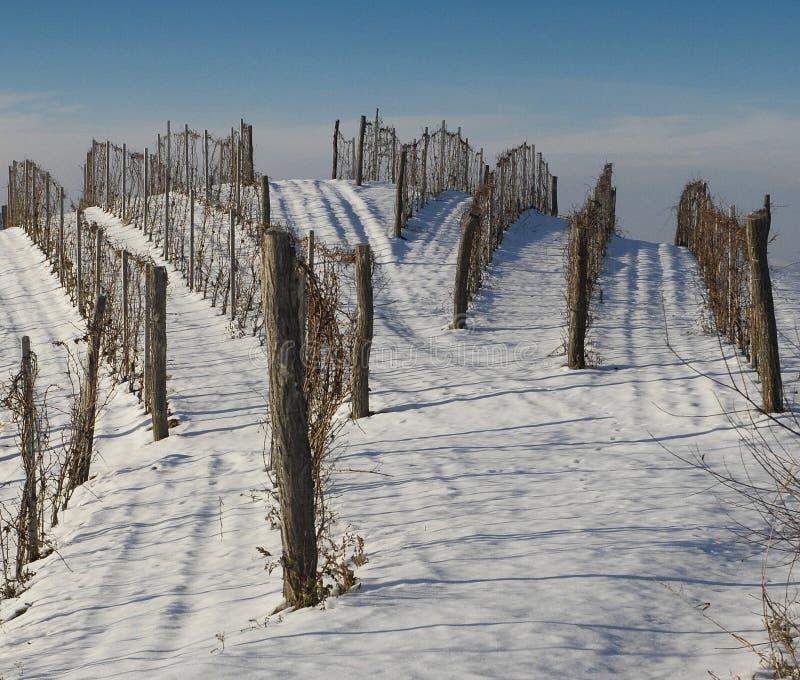 雪葡萄园 库存照片