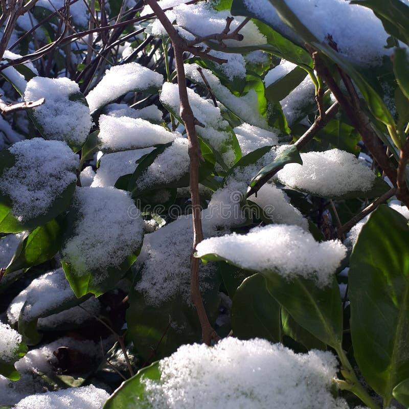 雪被包装的叶子 免版税库存照片