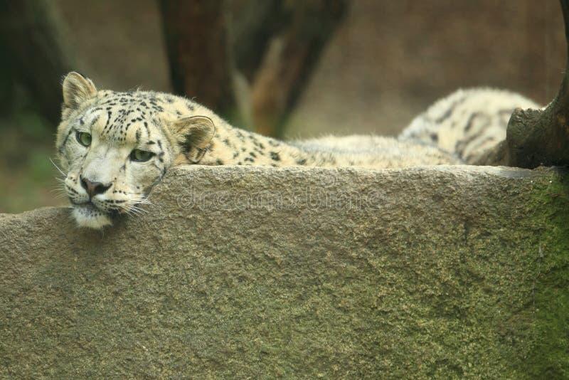 雪豹 免版税库存照片
