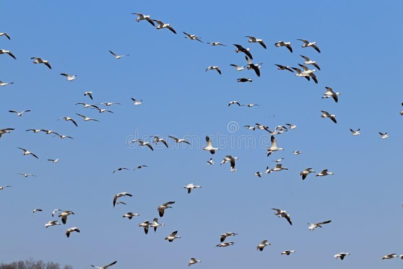 雪雁飞行和天空蔚蓝 图库摄影