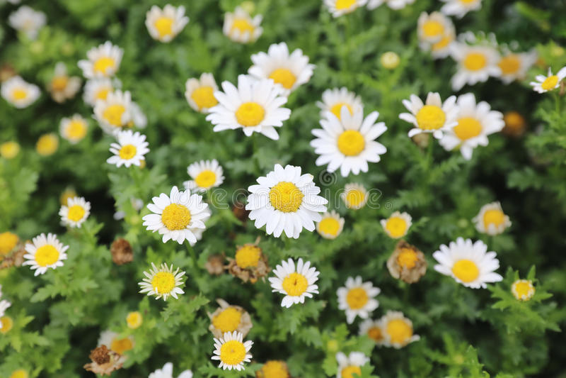 Download 雪雏菊,与浅地的四季不断的草本 库存例证 - 图片: 89626272