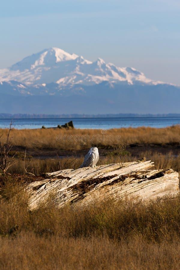 雪鸮与山面面包师 库存照片