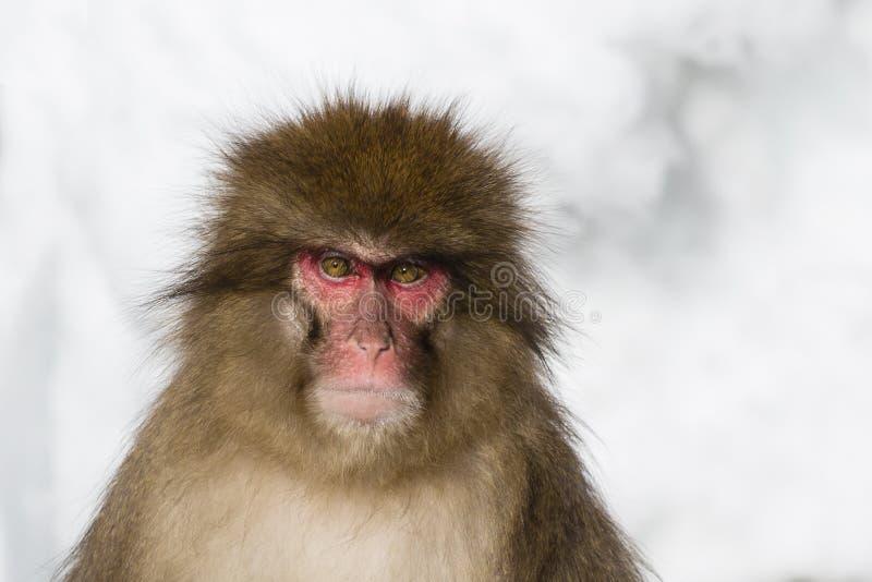 雪猴子情感和表示:愤怒 免版税库存照片