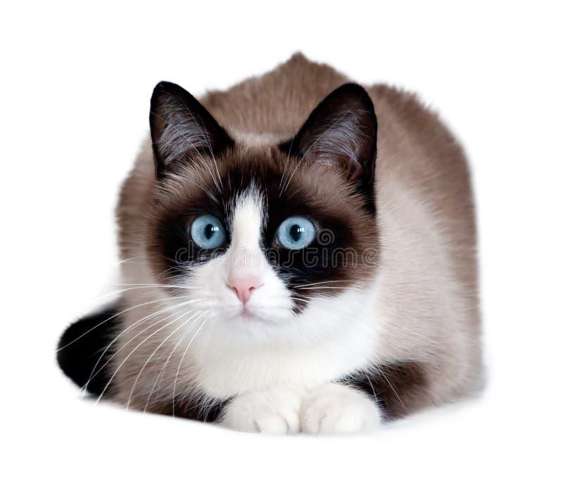 雪靴猫,发起于美国的一个新的品种,隔绝在白色背景 库存图片