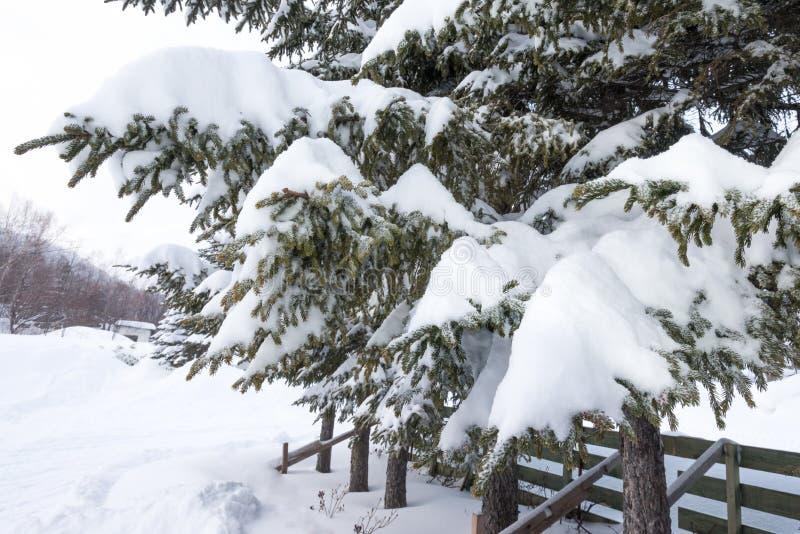 雪coveredfir树 免版税库存图片
