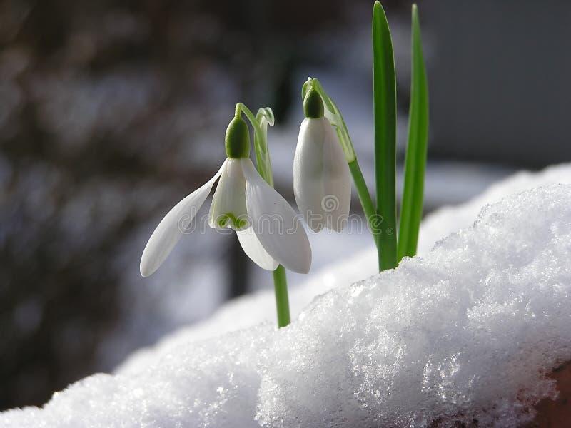 雪snowdrop 免版税图库摄影