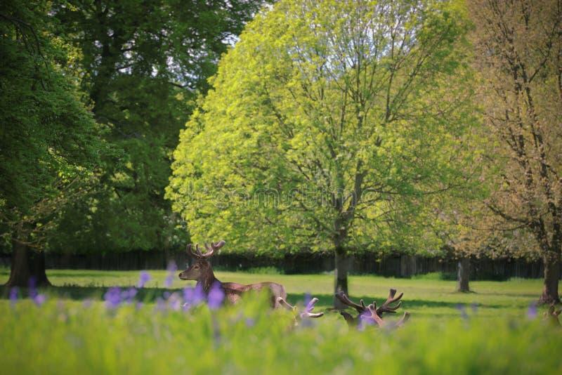 雷德迪尔雄鹿在与会开蓝色钟形花的草的树下 库存照片
