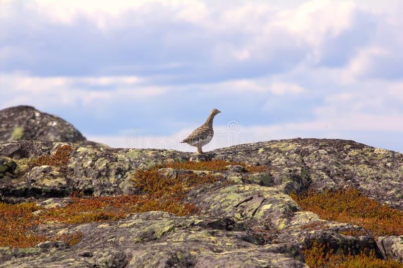 雷鸟在山寒带草原挪威fjelds (小山) 库存照片