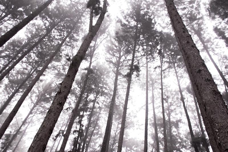 雾在杉木森林里 库存图片