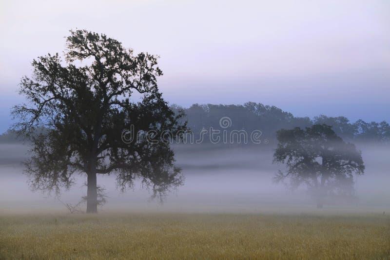 雾在橡树中盘旋在加利福尼亚草原 免版税库存图片