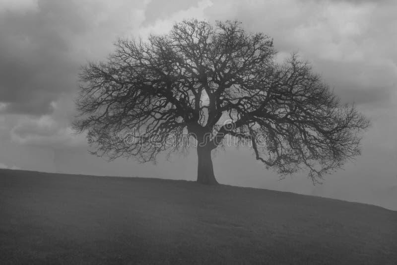 雾早晨橡木老结构树 图库摄影