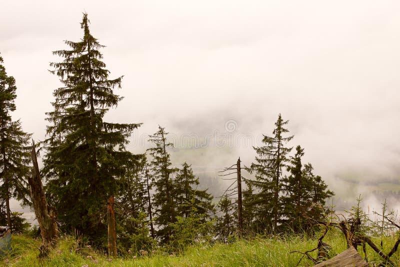 Download 雾森林 库存图片. 图片 包括有 薄雾, 旅行, 外面, 森林, 天气, 绿色, 高涨, 户外, 结构树 - 22358641