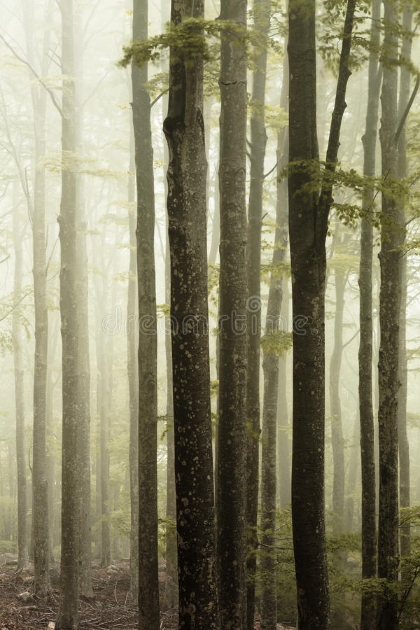 雾森林 库存图片
