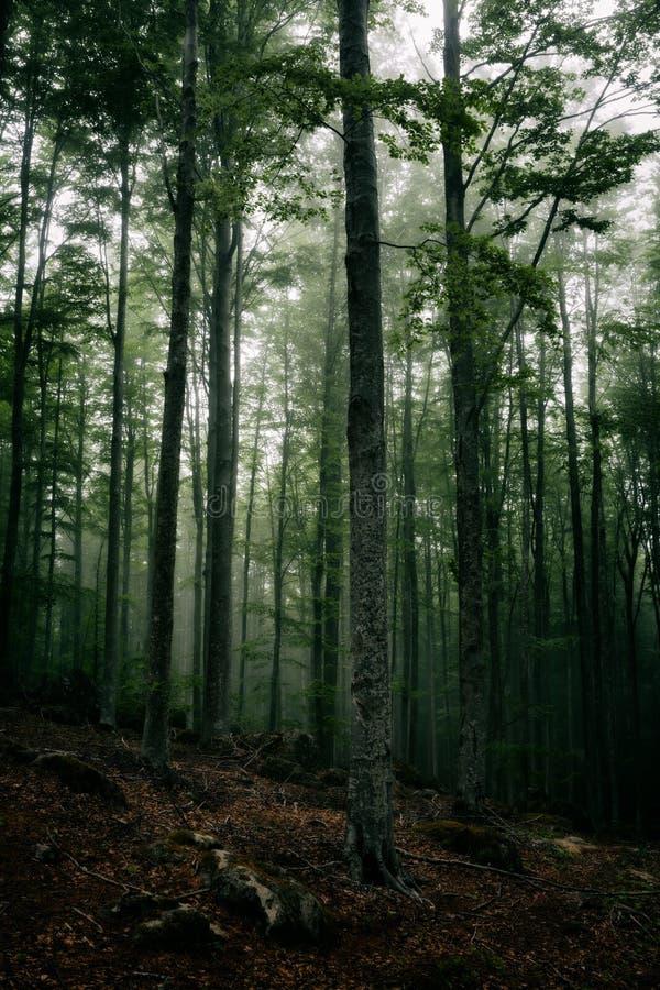雾的神奇黑暗的森林 库存图片