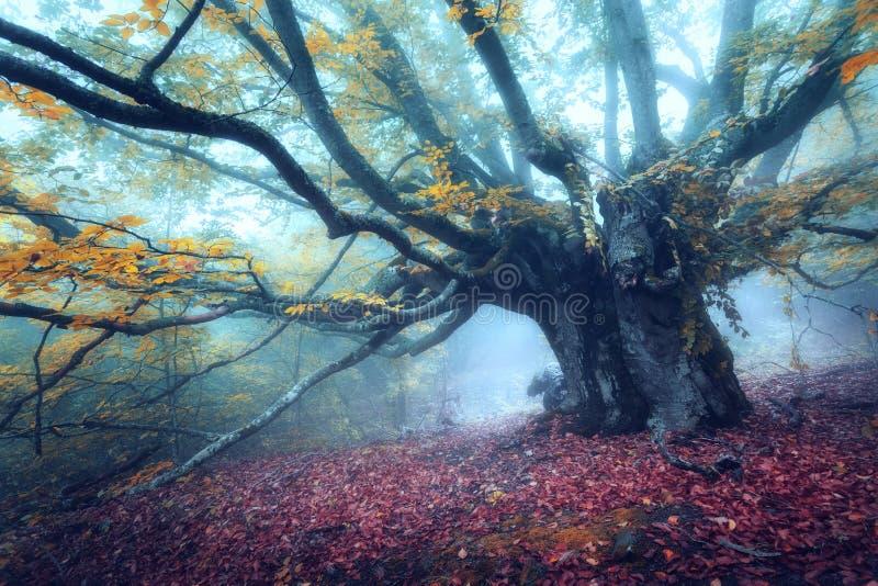 雾的神秘的秋天森林早晨 老结构树 免版税库存图片