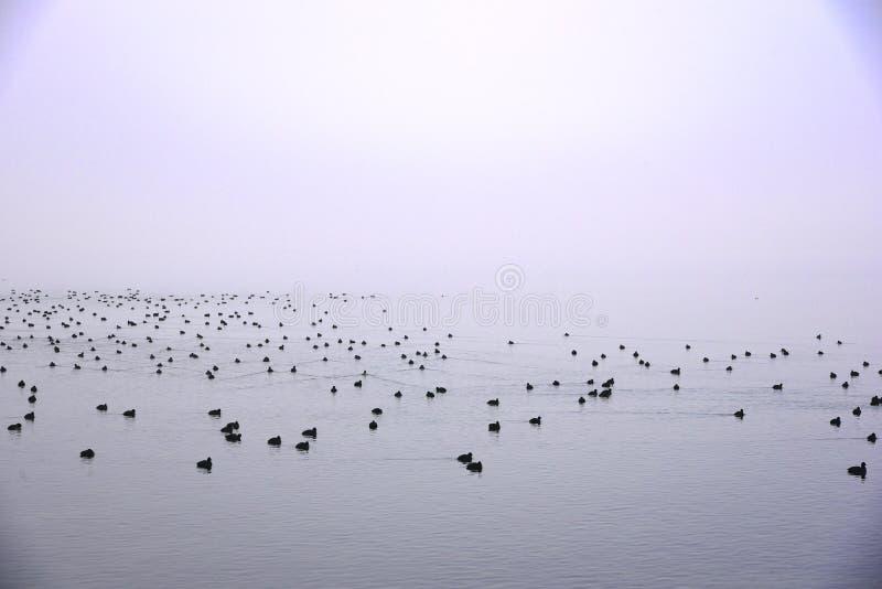 从雾的鸭子 库存照片