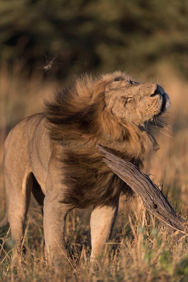 震动他的头和鬃毛的一头大,英俊的公狮子在Savute,博茨瓦纳 库存图片