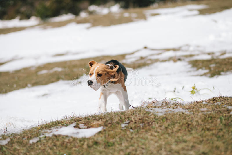 震动在雪的小猎犬 免版税库存照片