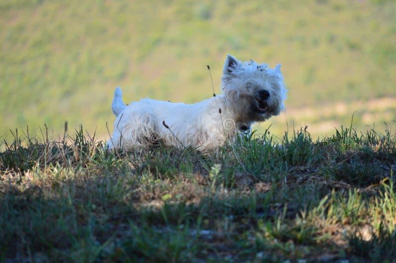 震动在Rebedul草甸的美丽的西部高地白色狗狗在卢戈 动物风景自然 免版税图库摄影
