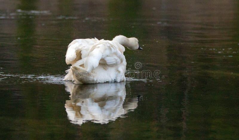 震动水的野天鹅在黄石河在黄石国家公园在怀俄明美国 免版税库存照片