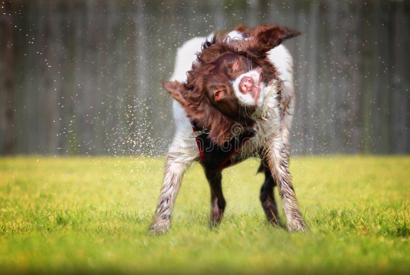 震动湿狗 免版税库存图片