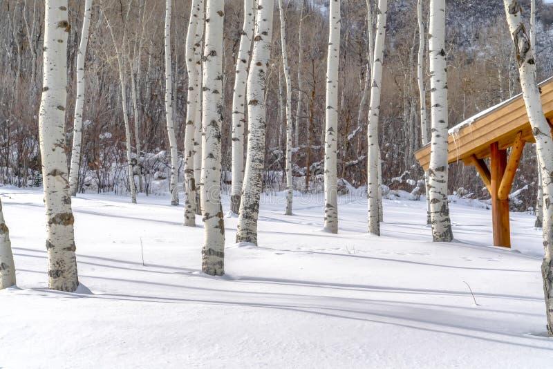 震动白杨和被日光照射了雪在滑雪场 免版税库存照片