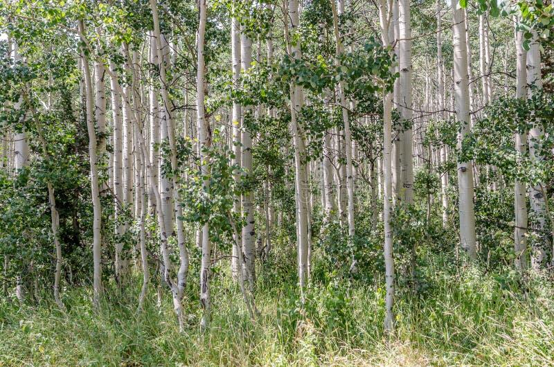 震动白杨树丛  库存图片