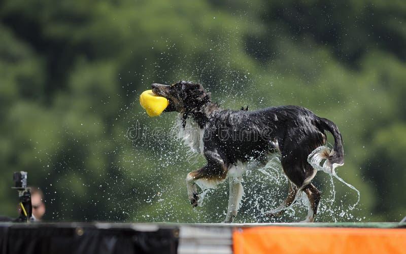 震动的博德牧羊犬 免版税库存照片