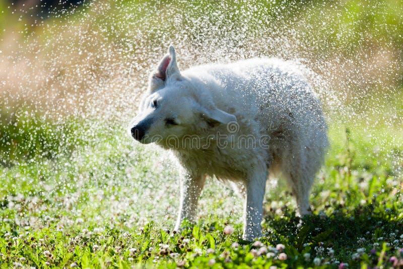 震动的逗人喜爱的狗干燥在水浪花  库存照片