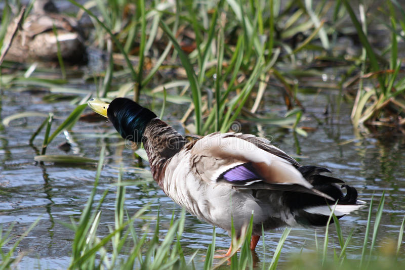震动的鸭子 库存图片