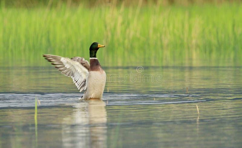 震动翼的公野鸭鸭子 图库摄影